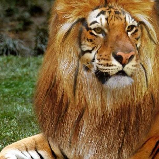 Tiger hybrid - photo#52