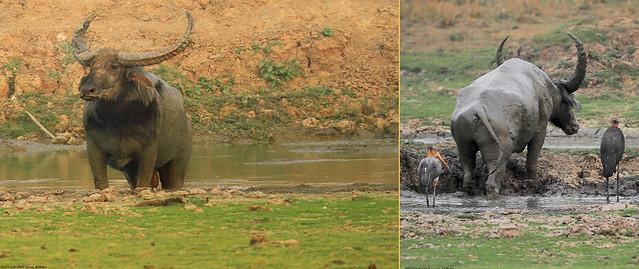 Endangered species Wild water buffalo (Bubalus arnee ... Wild Water Buffalo Endangered Species