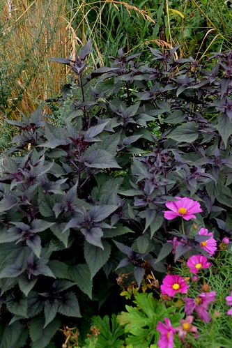 AGERATINA altissima 'Chocolate'