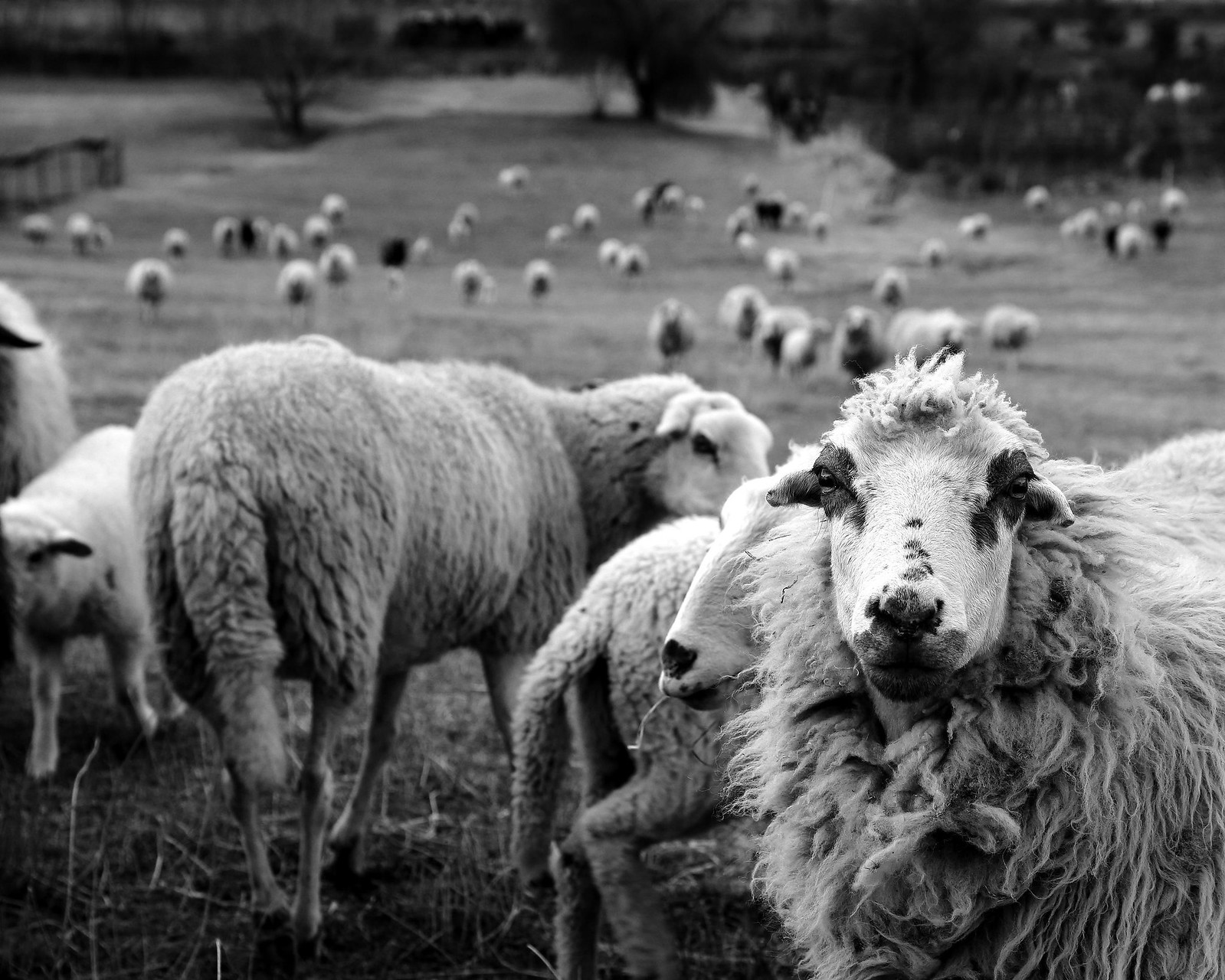 attentive sheep | by enki22