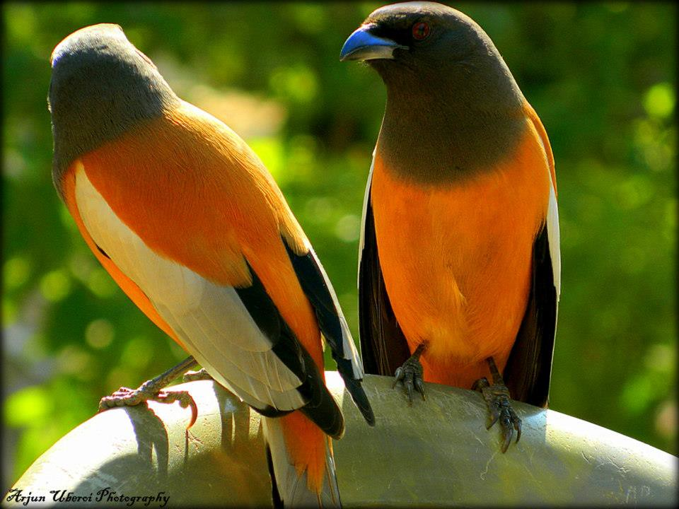 The Indian Tree Pie The Indian Treepie Bird Is A Subspecie Flickr