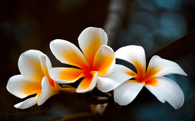 bunga kamboja | Plumeria obtusa | By: Fgentry | Flickr