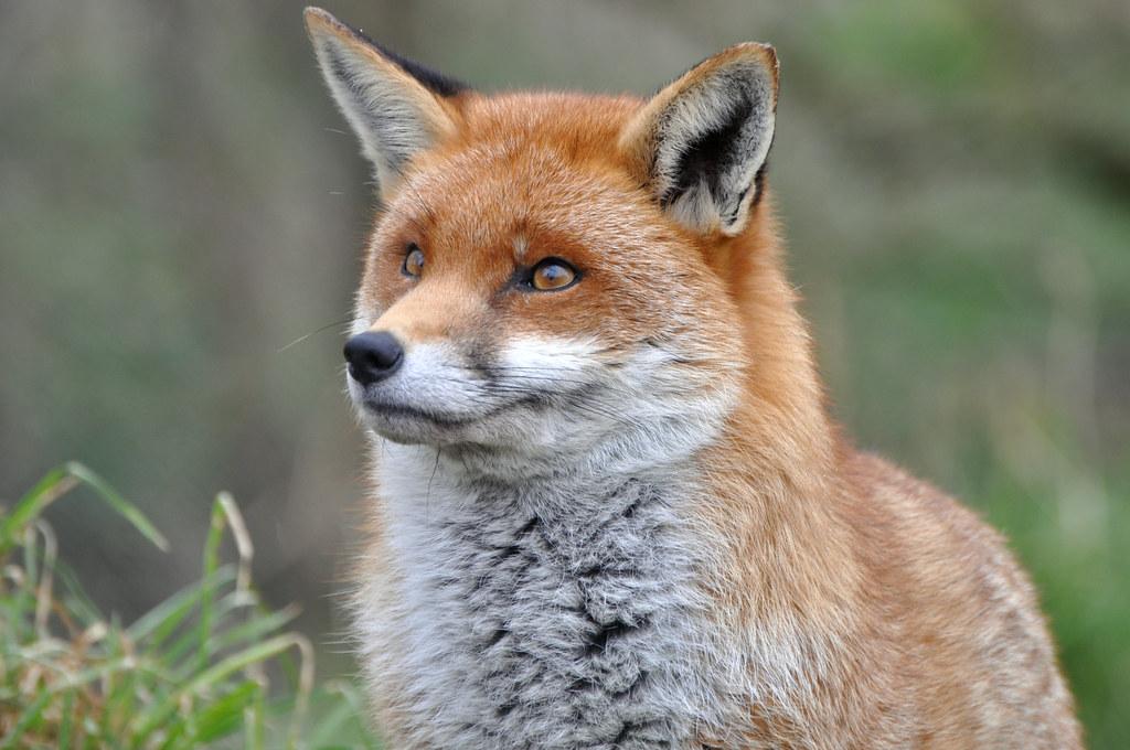 Smiling Fox | :) | Nicole Watson | Flickr
