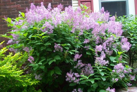 Can Lilac Bush Make Dogs Sick