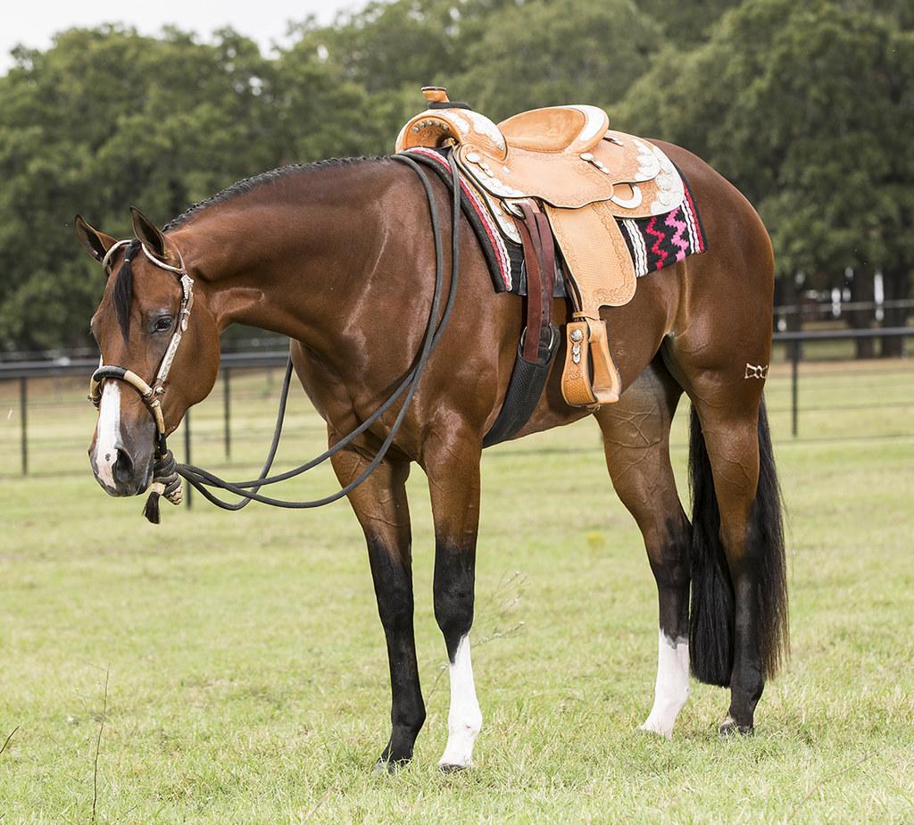 English Saddles For Quarter Horses Quarter Horse Under Saddle