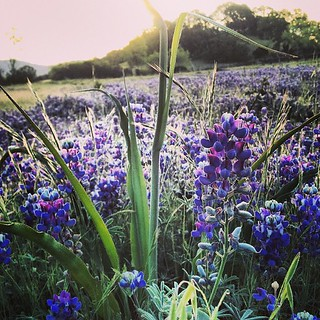 Purple clover in the Jordan vineyards this morning. #spring #flowers | by jordanwinery.com