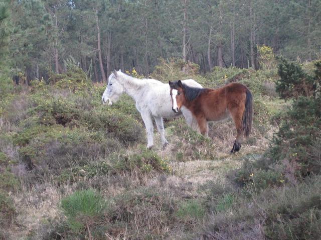 Caballos en el monte Galiñeiro