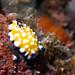 Goniobranchus vibratus nudibranch - Kailua-Kona, Hawaii