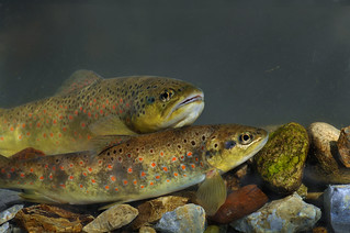 Prespa Trout - Salmo peristericus | by UNDP in fYR Macedonia