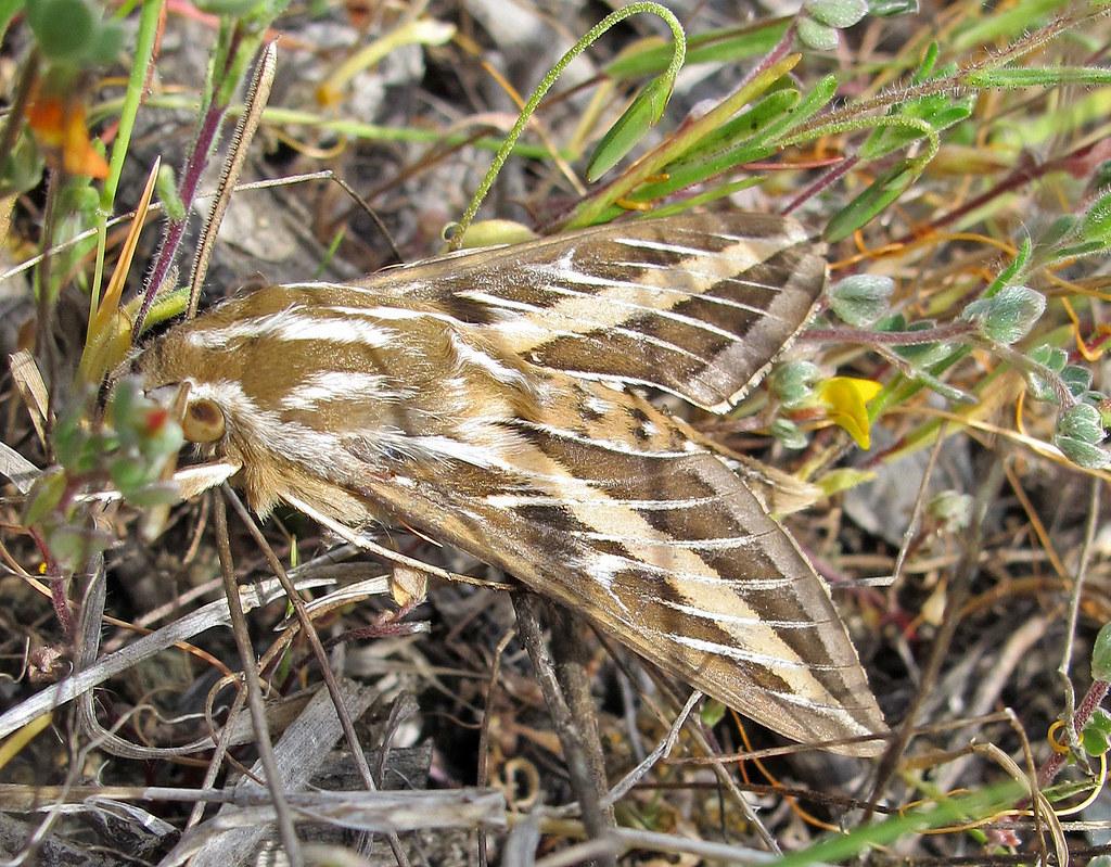 Sphinx Moths Hiles lineata  DesertUSA