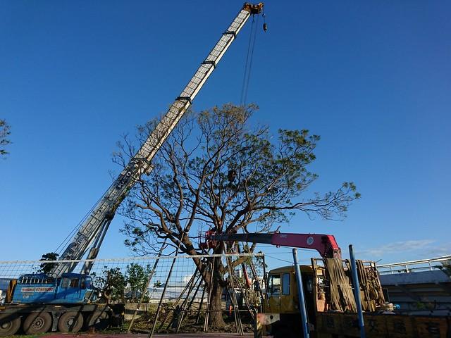 盡量維持樹型乃搶救原則之一。圖片來源:樹花園 Treegarden。
