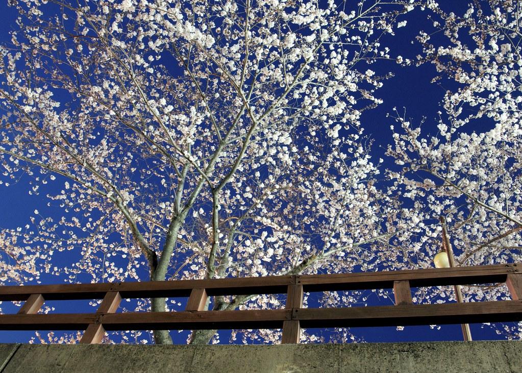 Cherry Blossoms Twilight #1
