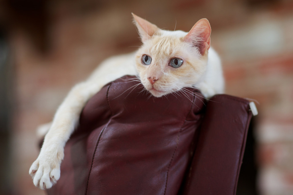 programme flea injections for cats