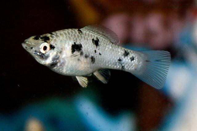 Моллинезия далматин, фото фотография аквариумные рыбки