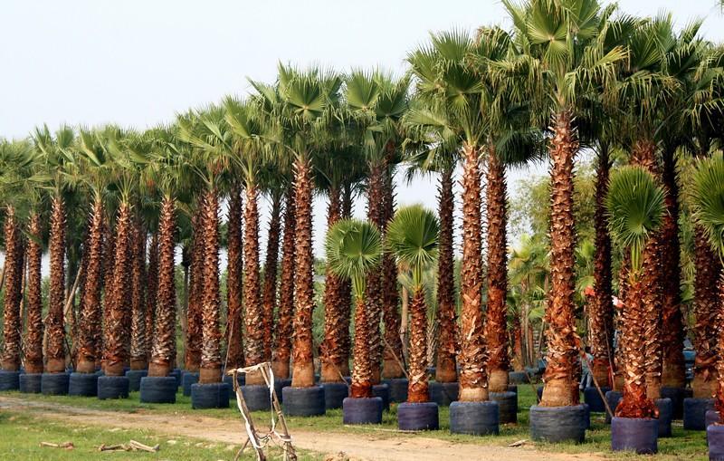 washingtonia robusta mexican fan palm mexican washington. Black Bedroom Furniture Sets. Home Design Ideas