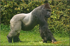Bauwi, the Silverback Gorilla