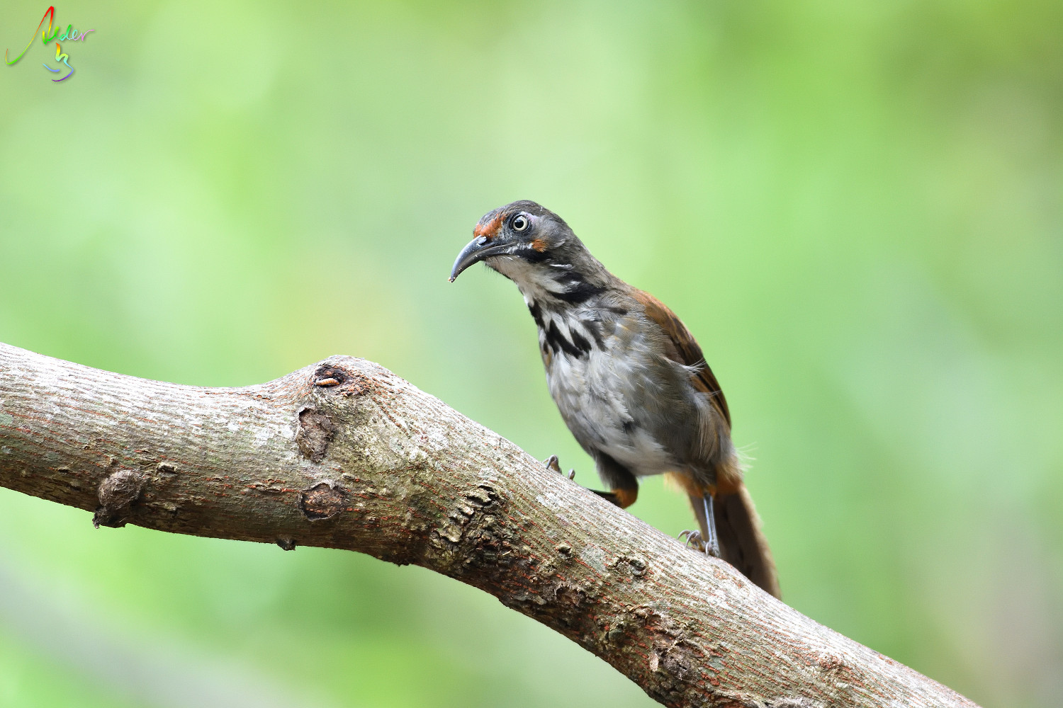 Rusty-cheeked_Scimitar_Babbler_5285