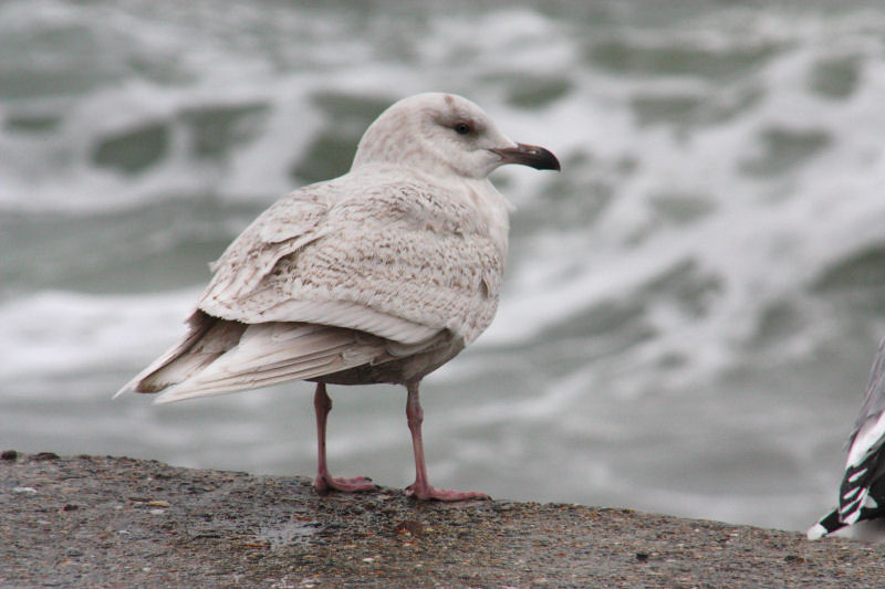 Iceland Gull Iceland Gull On The Sea Wall Plymouth
