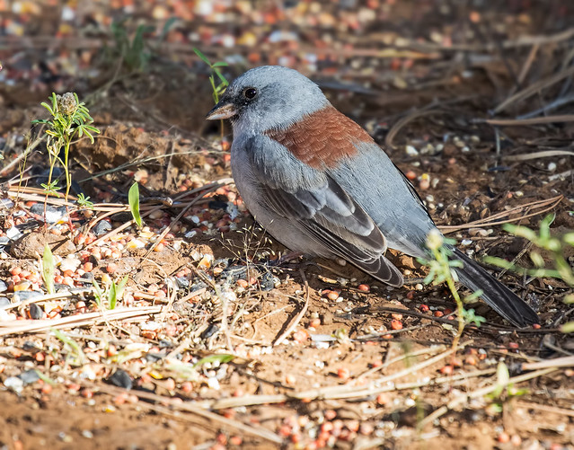 Dark-eyed-Junco-(Redback)-7D2-091616