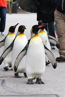 Penguin Parade 2/15/12 | by Mark Dumont
