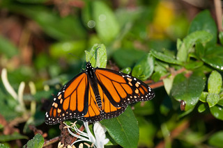 Monarch butterfly | by U. S. Fish and Wildlife Service - Northeast Region