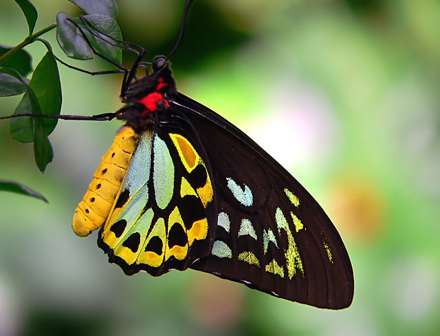 Cairns Birdwing 6