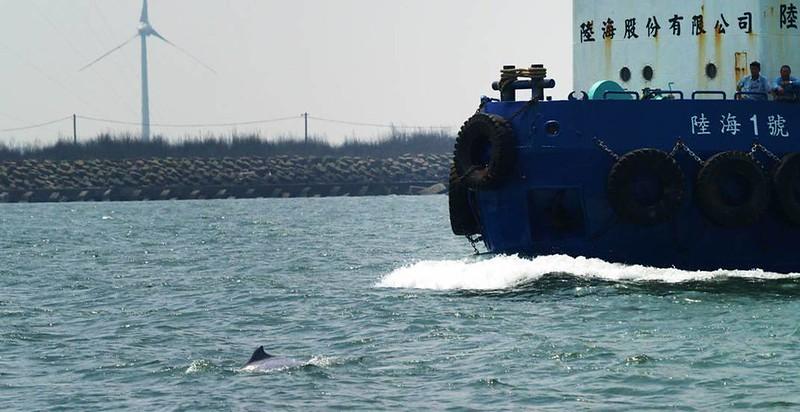 航道上往來的船只速度往往超過40節,加上產生的水下噪音,各方面均造成對白海豚的重大危害。圖片來源:林子皓。