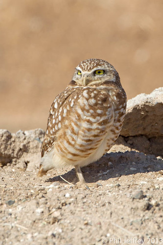 Burrowing Owl | by phil.jeffrey