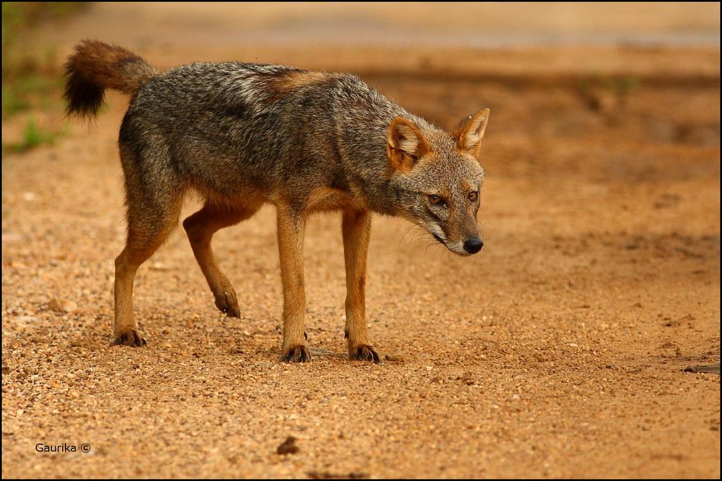 Golden jackal canis aureus yala national park flickr