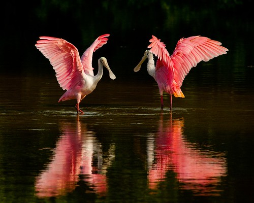 Roseate spoonbills | by USFWS Headquarters