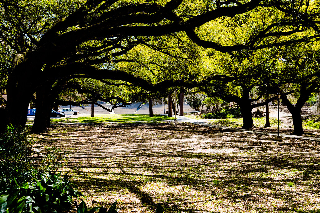 Lsu Live Oak Trees Lsu And Louisiana Are Famous For