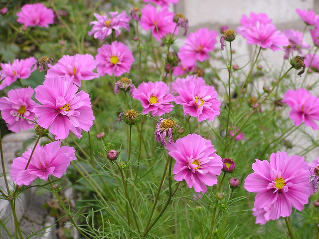 Cosmos 'Fizzy Pink'