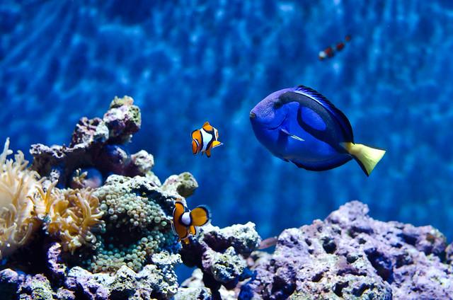 Clown fish blue tang flickr photo sharing for Blue tang fish facts