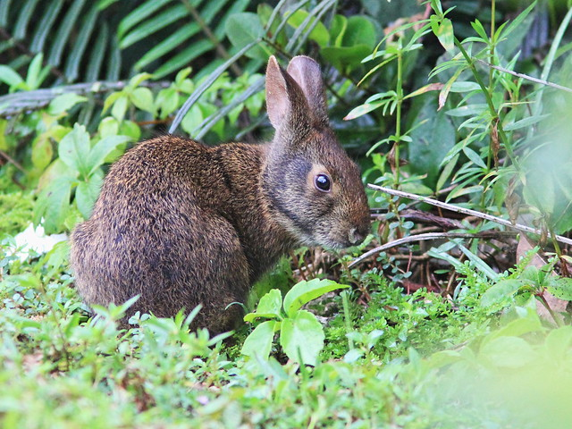 Marsh Rabbit young 04-20160808