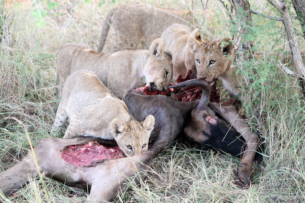 What do white lions eat - photo#36