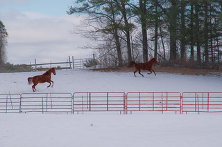 Frolicking Horses | by Bud in Wells, Maine