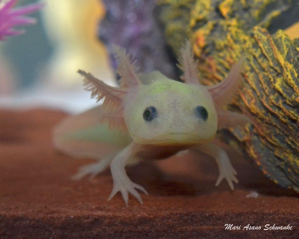 Axolotl Haustier