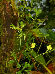 Fern, Elaphoglossum tripartitum