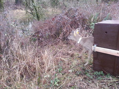 Columbian White-Tailed Deer's First Glimpse of Its New Home | by USFWS Pacific