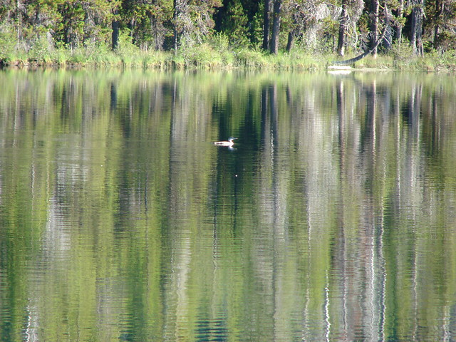 Merganser on Miller Lake