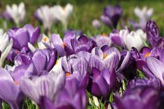 Purple Carpet by lauren_imo