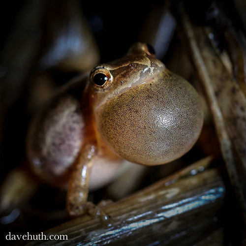 Spring Peeper (Pseudacris crucifer) - calling, vocal sac extended | by DaveHuth