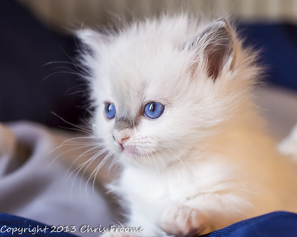 Ragdoll kitten information