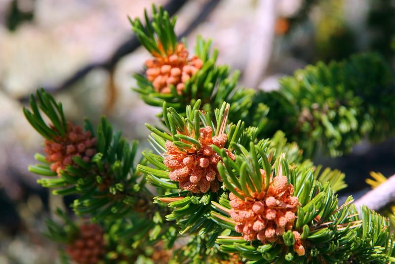 IMG_6864 Bristlecone Pine Male Cone