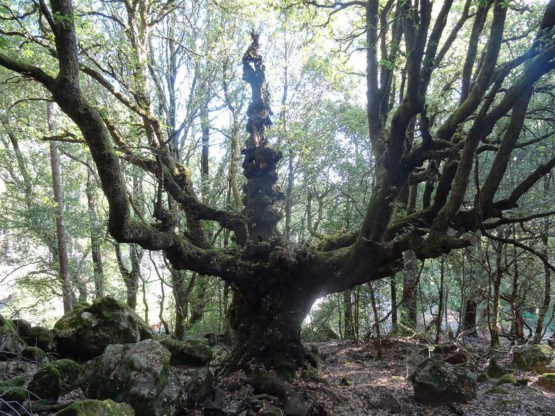 Un chêne spectaculaire dans les sous-bois après le départ d'Isulacciu-di-Fiumorbu