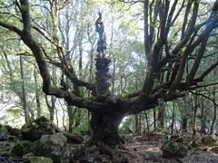 Un chêne spectaculaire dans les sous-bois après le départ d'Isulacciu-di Fiumorbu