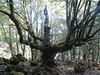 Chêne spectaculaire dans les sous-bois d'Isulacciu di Fiumorb