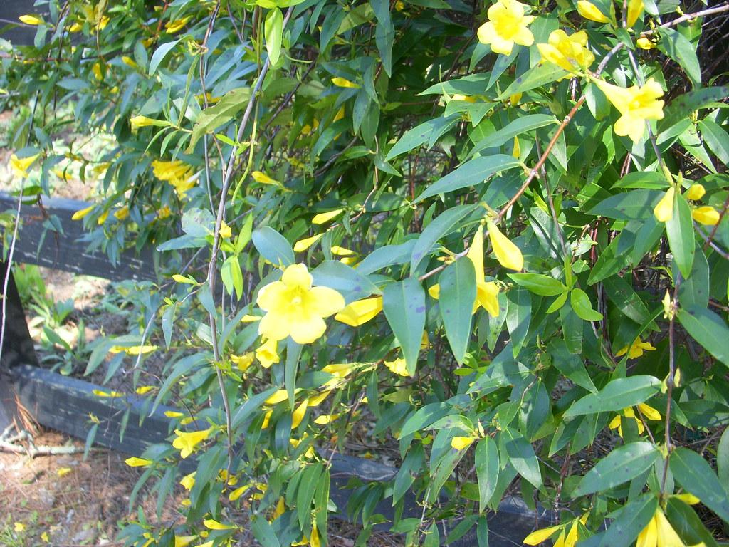 South Carolina State Flower Yellow Jessamine Honeymoon Sarah