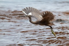 Western Reef Heron ( Egretta gularis)