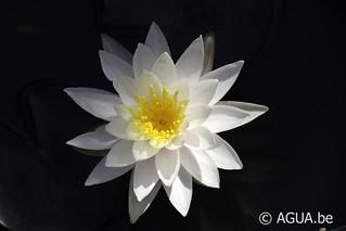 Nymphaea Hazorea Dagan White